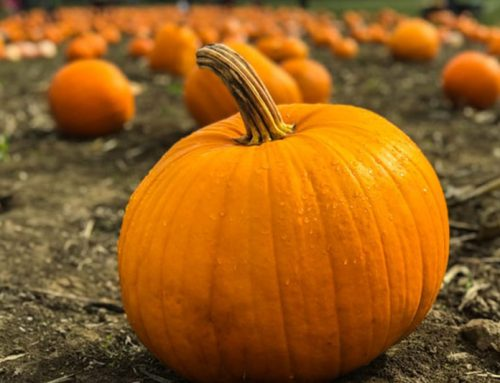 Pumpkin Patches & Pumpkin Picking in Fredericksburg (and Beyond!)